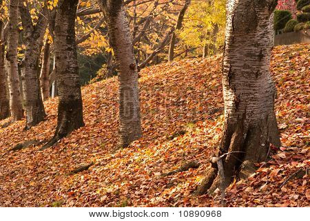 Tree Trunks Against A Bank Of Fallen Autumnal Leaves