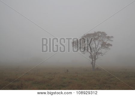 Standalone Tree In The Mist