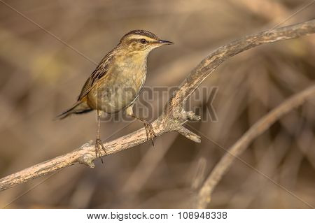 The rufous-tailed scrub robin (Cercotrichas galactotes) on a branch on the water edge in a marsh poster