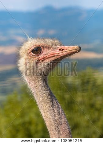 Side Of Head Of An African Ostrich