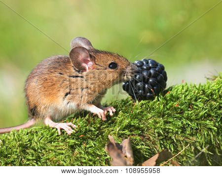 Field Mouse (apodemus Sylvaticus)
