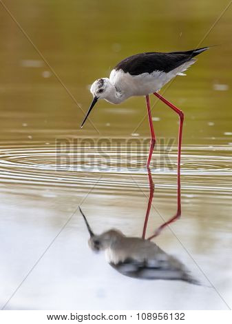 Female Black Winged Stilt