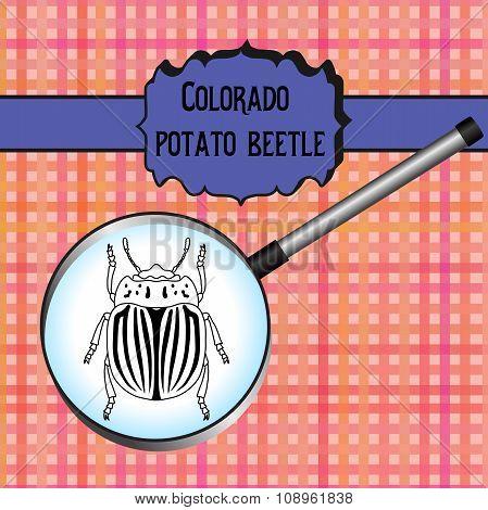 insect in magnifier. colorado potato beetle. Leptinotarsa decemlineata. Sketch of colorado potato be