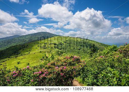Summer Roan Mountain Bloom