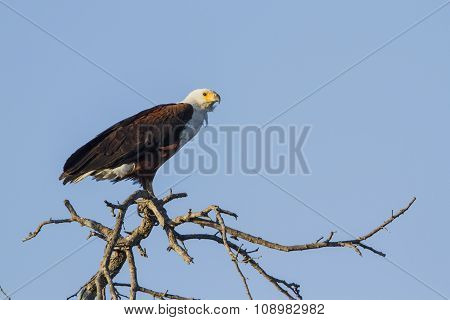 African Fish Eagle Isolated In Blue Sky