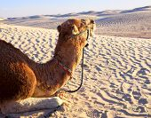 Camel in harness lying on the sand in the Sahara desert close-up poster