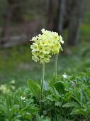 Cowslip (Primula veris) flowers in natural habitat poster