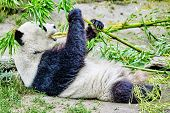 Cute bear panda actively chew a green bamboo sprout. poster