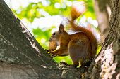 red squirrel with a walnut on the tree nature poster