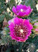 cholla cactus flower poster