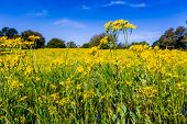 Cut Leaf Groundsel (packera Tampicana) Bright Yellow Texas Wildflowers in a Texas Field with Blue Skies and Trees. poster