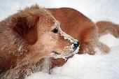 Golden Retriever dog, enjoying the first heavy snowfall. poster