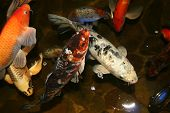 exotic fish japan koi in the pool poster