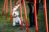 West highland white terrierdog doing agility - running slalom. Agility slalom poster