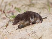 The Locally Endangered Bicolored Shrew (Crocidura leucodon) in it's Natural Habitat poster