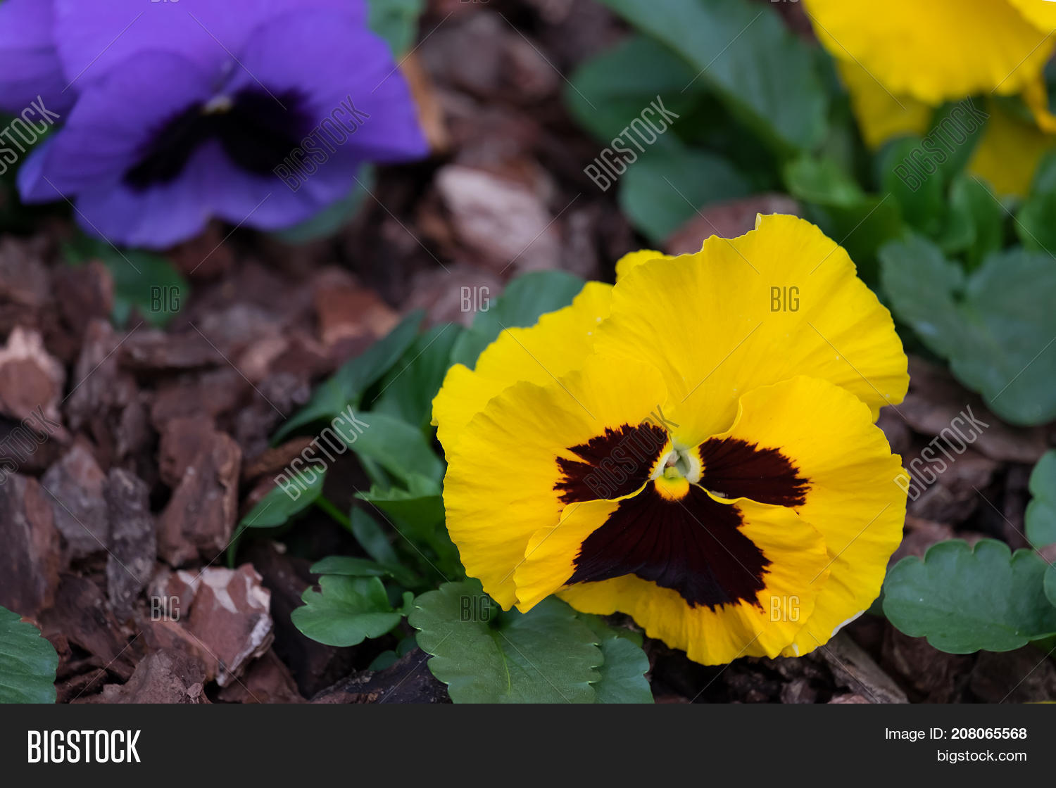 Pansy Flowers Bright Image Photo Free Trial Bigstock