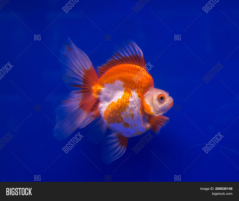 Ryukin Goldfish Blue Image Photo Free Trial Bigstock