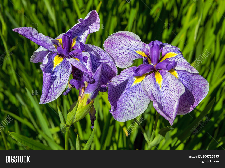 Purple siberian iris flowers bud image photo bigstock purple siberian iris flowers bud cluster in bloom at japanese garden closeup in late spring early izmirmasajfo