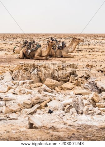 Dromedary camels used to transport amole-salt slabs across the desert in the Danakil Depression Ethiopia.