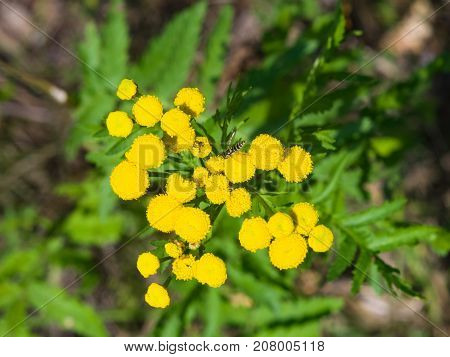 Blooming common tansy or tanacetum vulgare golden buttons macro selective focus shallow DOF.