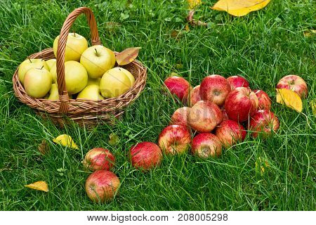 Red Apples in the Grass in the Garden