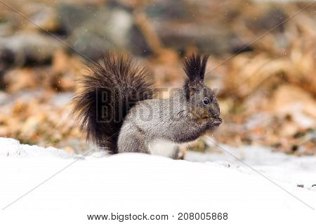 Cute squirrel in winter snowy forest close up