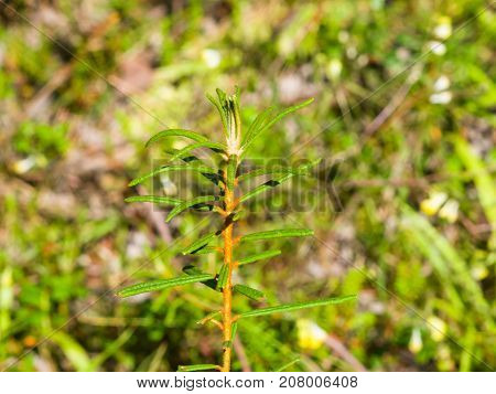 Marsh Labrador tea Rhododendron tomentosum Ledum palustre leaves on stem close-up selective focus shallow DOF.