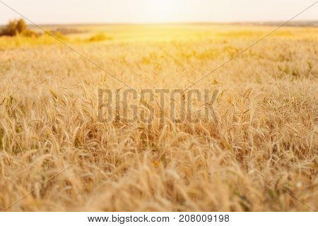 A large wheat field. In summer, in bright sunlight. Beautiful landscape of nature. The concept of a rich harvest. The background of a ripening meadow mushroom.