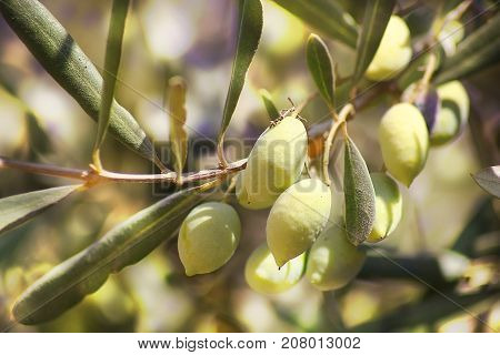 ripe green olives, grades syrian, on a branch of an olive tree