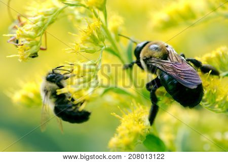 Bumblebee collecting nectar and pollen from goldenrod plant