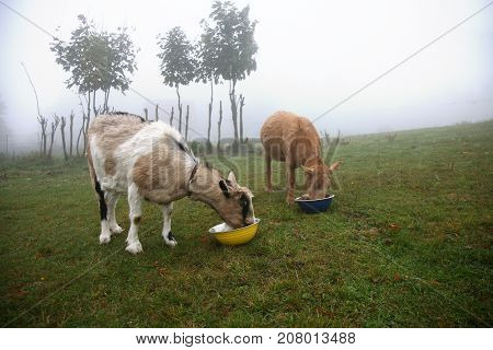 Milky two goats eating fodder on the meadow during cloudy day. Gloomy autumn day on the farm.
