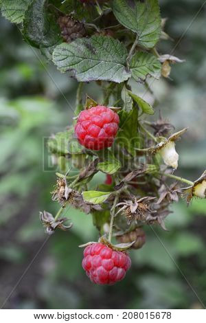 raspberry Bush, Bush with berries of ripe raspberry in the garden