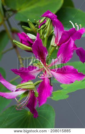Bauhima purpurea linn leguminosae pink red or magenta.