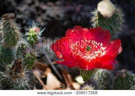 Glowing fluorescent red flower of a prickly pear cactus in a cactus garden.