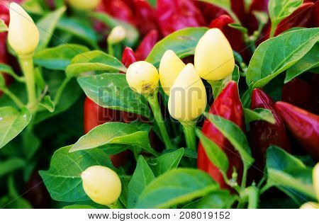 Closeup on red and white chillies surrounded by leaves in autumn.