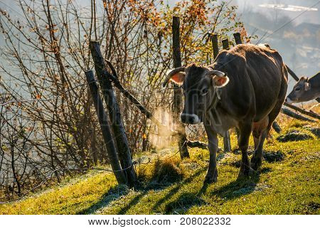 Rufous Cow Near The Fence On Hillside
