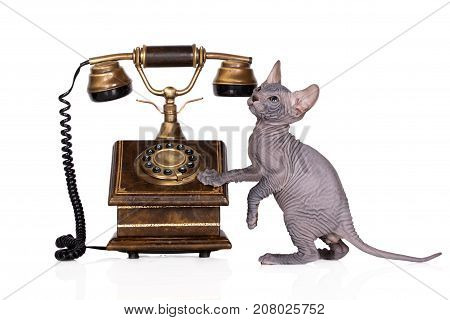 adorable kitten posing with an antique phone