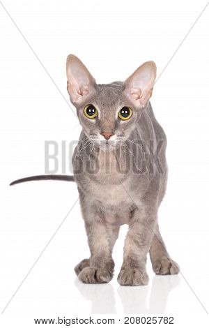 beautiful grey donskoy sphynx cat on white background