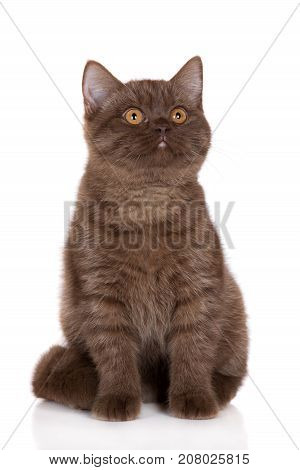 beautiful brown british shorthair kitten posing on white background
