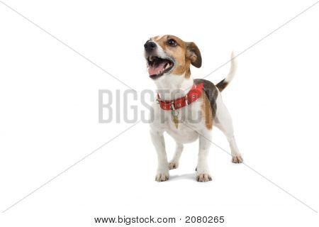 Jack Russell Happy Puppy
