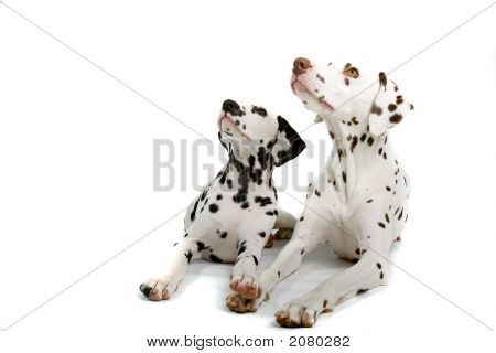 Two Adorable Dalmatians Sitting Down