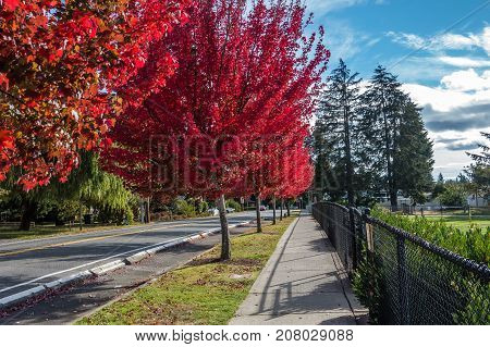 Trees explode with brilliant red color on a street in Des Moines Washington.