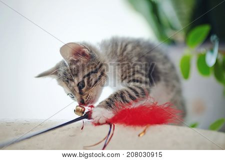 The domestic striped kitten plays with a toy.