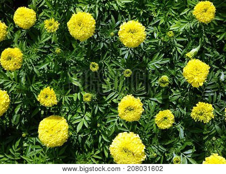 Large yellow globular flowers, urban flowerbed.
