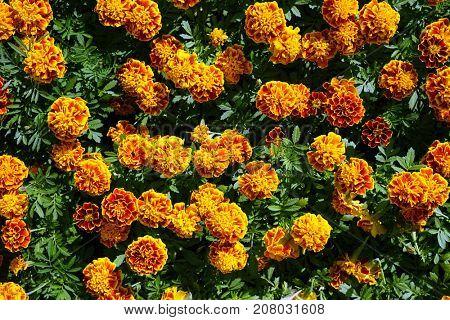 A lot of orange flowers in the garden.