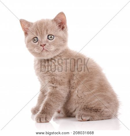 Cat, pet, and cute concept - Scottish Straight Cat isolated on white.