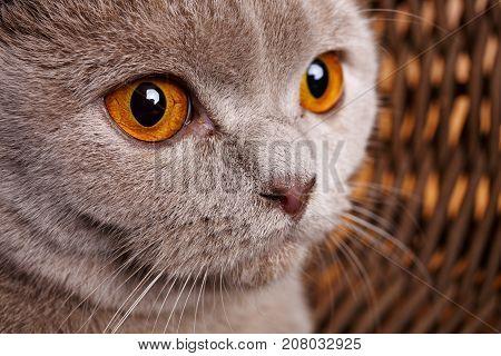portrait of Beautiful gray cat with yellow eyes Scottish Fold closeup