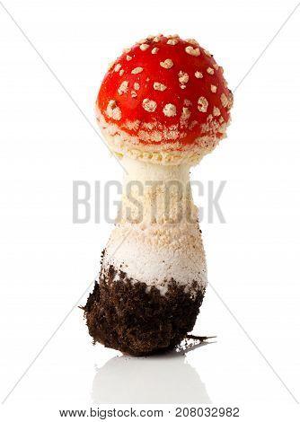 fresh fly agaric mushroom on white background