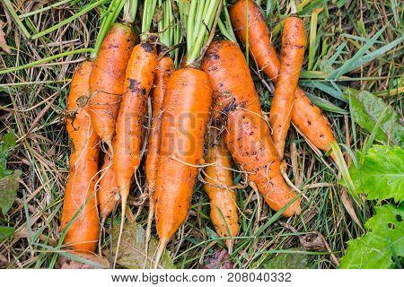 Freshly harvested carrots in the garden on the grass