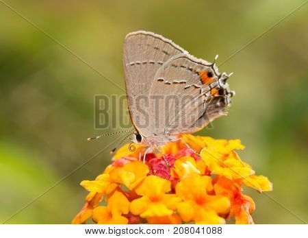 Gray Hairstreak butterfly on a bright red and yellow Lantana flower, with green background